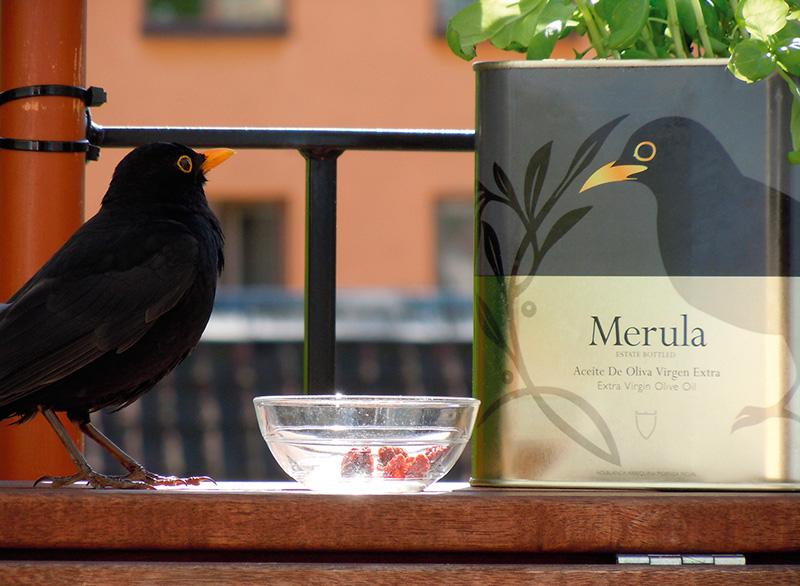 Merula-blackbird-v2
